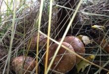 після рясного осіннього дощу гриби аж випирають