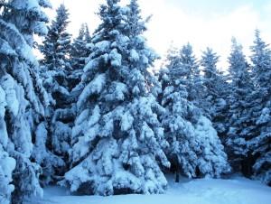 притрушені новорічним снігом ялинки в карпатах