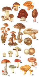 види їстівних карпатських грибів