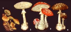 отруйні карпатські гриби